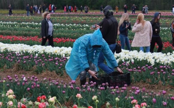 Цибулини з фестивалю тюльпанів на Волині продаватимуть