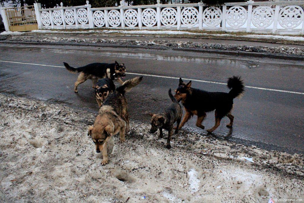 У Луцьку побільшало скарг на безпритульних собак